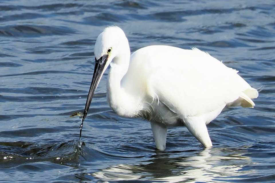 Little Egret (White Heron) at Seaton Wetlands. Photo: Daryl Turner